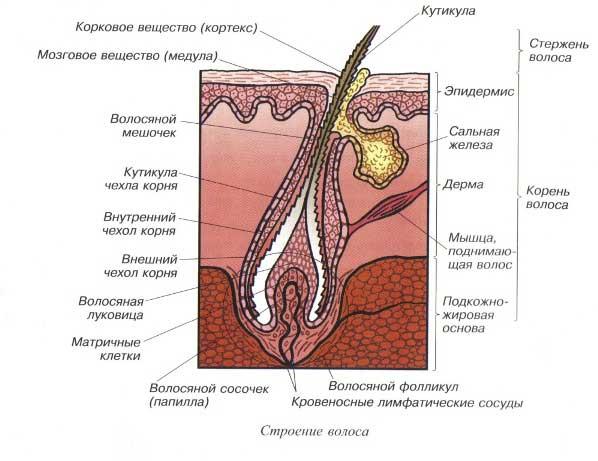 Схема строения волоса