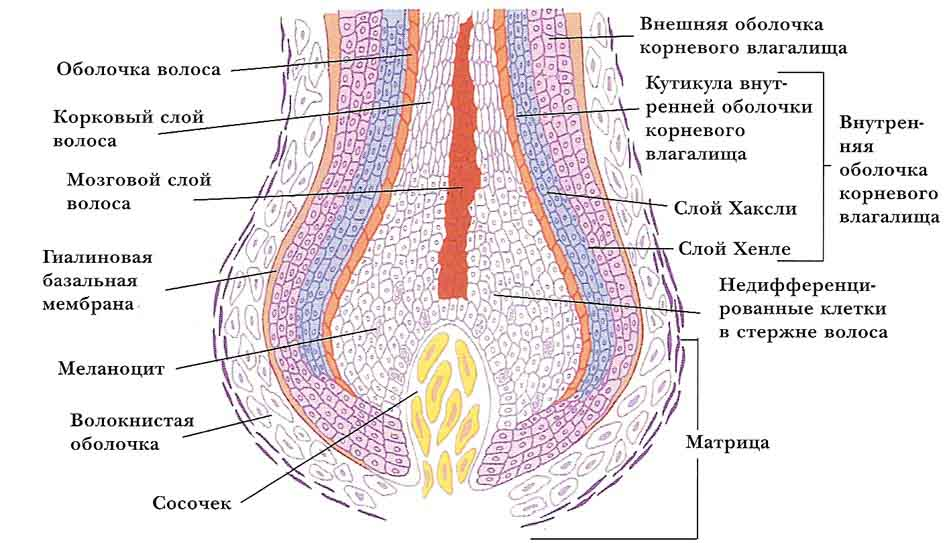 выпадение волос у мужчин лечение лопуха