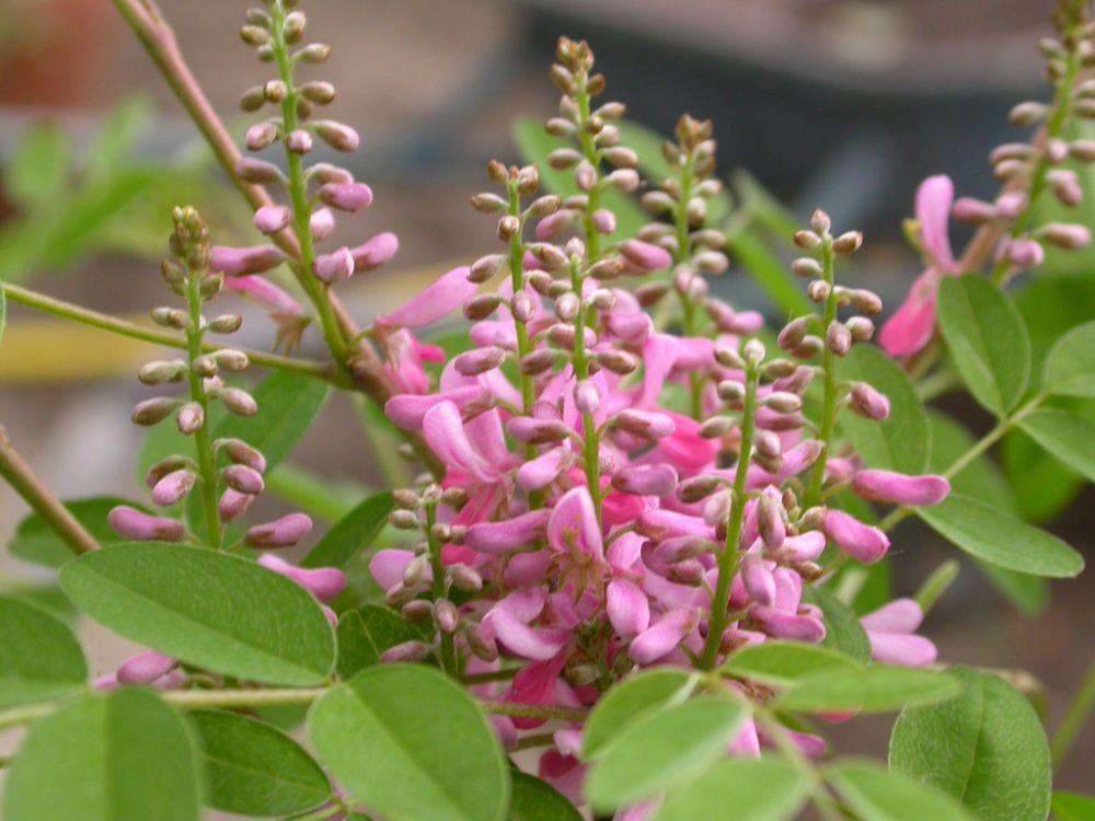 Семена индигоферы