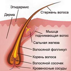 Анатомия волоса