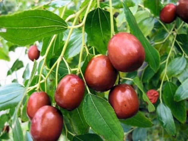 Плоды жожоба