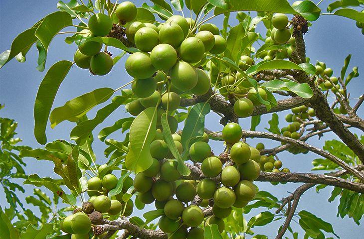 Дерево ши