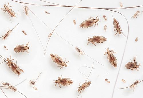 Головные паразиты