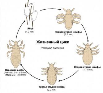 Длительность инкубационного периода вшей и гнид